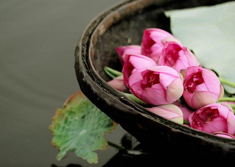Lotus Flowers in West Lake